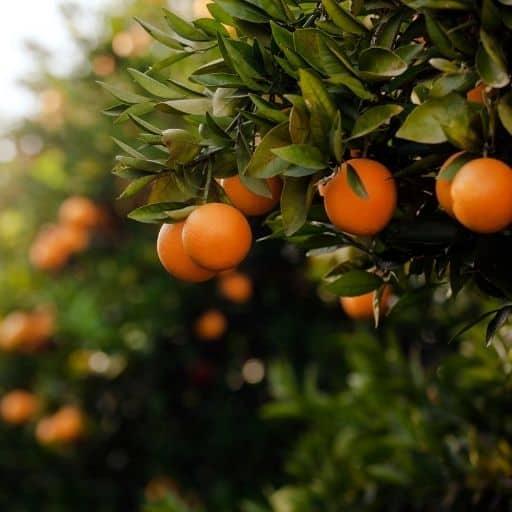 świeca o zapachu słodkiej pomarańczy